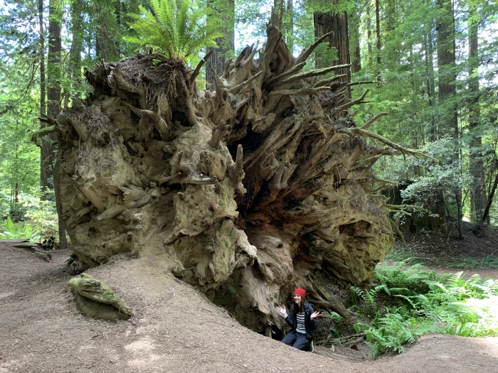 Avenue of the Giants Stump