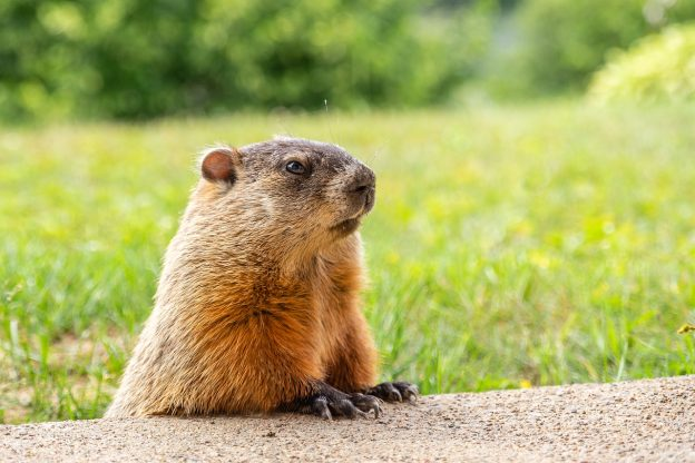 Groundhogs Day in the U.S.