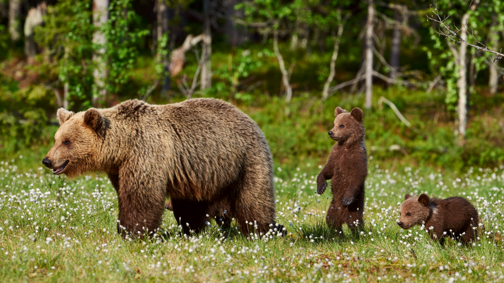 American Culture and History - Grizzly Bears in Alaska